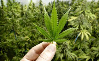 Such is the medicinal importance of Gorakh Marijuana (Ganja)